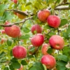 採れたてリンゴがおいしい季節になったね