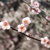 春の訪れを知らせる梅の花を見に伊豆半島へ。来週は満開か