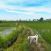 田園の散歩ではじまるバリ島の朝。お供のカメラはSONY RX100 MIII