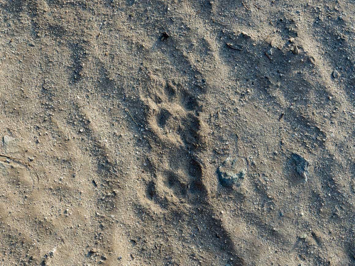 トレイルに残る雪豹の足跡