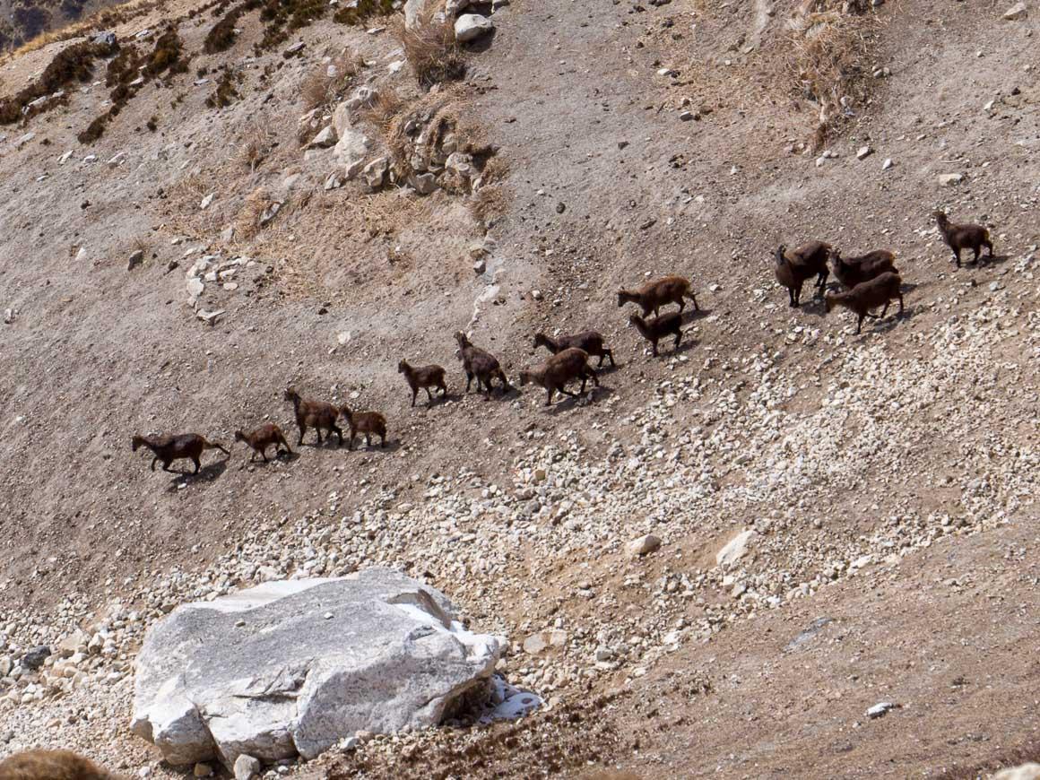 ヒマラヤ山中のヒマラヤタールの群れ