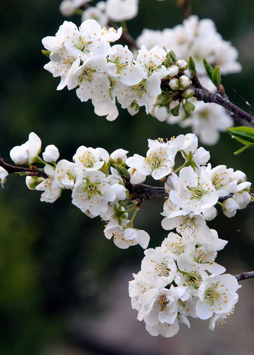 ネパールの桜の花