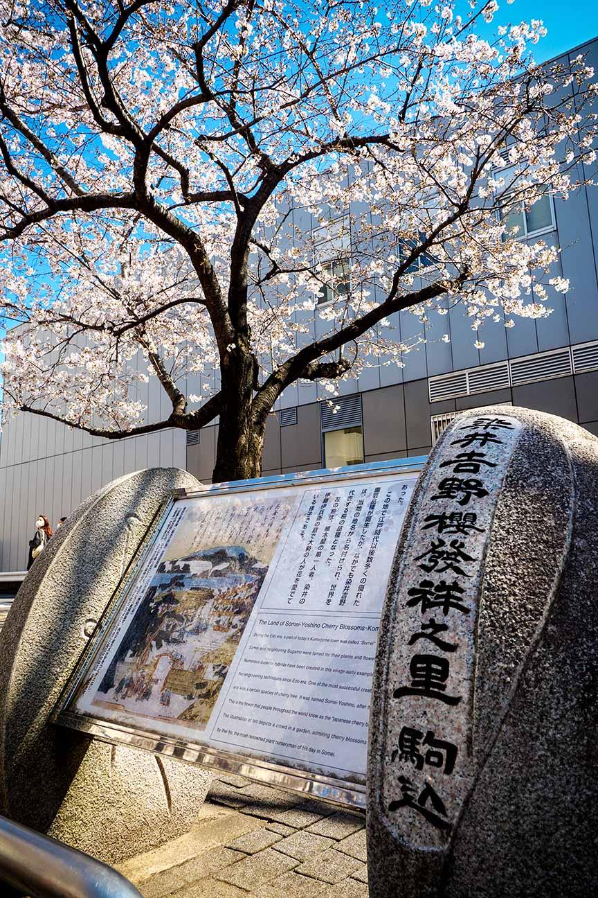 JR山手線の駒込駅は染井吉野桜記念公園として整備されている