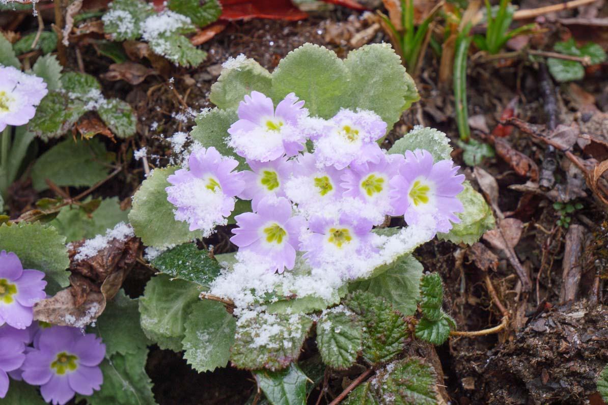花も雪に埋もれる