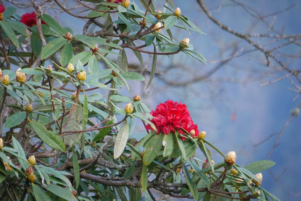 ラリグラスが咲いている