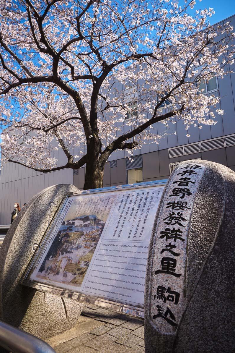 駒込駅前の染井吉野櫻発祥の記念碑と満開のソメイヨシノ