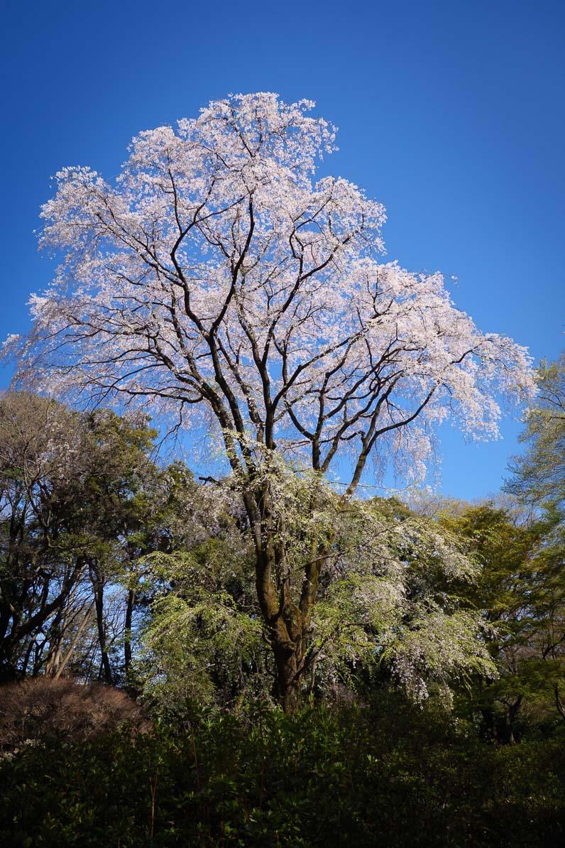 """六義園に咲くおおきな桜の木"""""""